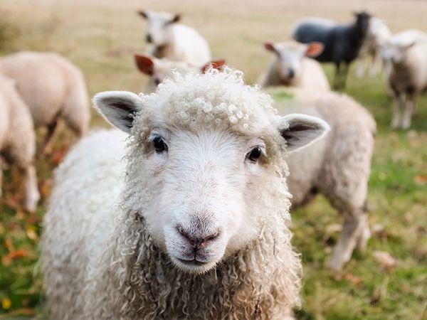 oveja que sale del rebaño